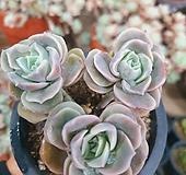 러블리로즈1-100|Echeveria Lovely Rose