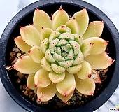 오렌지에보니*자라고사(중) 17-293|Echeveria mexensis Zaragosa