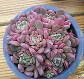 핑클루비99|Sedeveria pink rubby