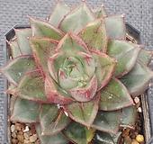 환엽모노금끼 Echeveria Monocerotis