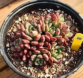 핑클루비 690115|Sedeveria pink rubby