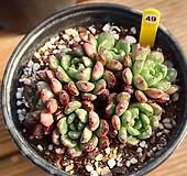 핑클루비 490115|Sedeveria pink rubby