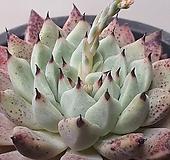 원종자라고사 붉게물든 피멍이 예술 10|Echeveria mexensis Zaragosa