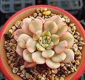 핑클루비금|Sedeveria pink rubby