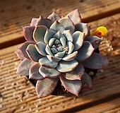 파랑새 050116|Echeveria Blue bird