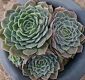 온슬로우 군생 Echeveria cv Onslow
