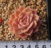 297 온슬로우 Echeveria cv Onslow
