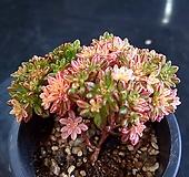 소인제금04초 Aeonium sedifolius