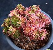 소인제금05초 Aeonium sedifolius