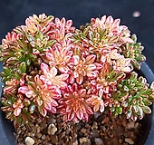 소인제금06초 Aeonium sedifolius