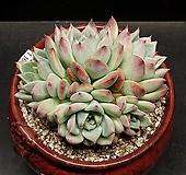 원종콜로라타-5두(1.16)|Echeveria colorata