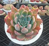 콜로라타브랜드티1-2285|Echeveria Colorata fma Brandtii