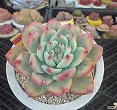 원종콜로라타1-2355|Echeveria colorata
