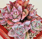 원종콜로라타 1883|Echeveria colorata