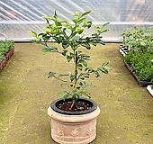 (싹쓰리식물원) 오렌지레몬(중대품)-묘목|