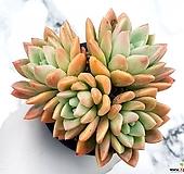 콜로라타*아메치스(대) 18-24|Echeveria colorata