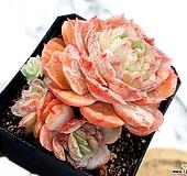 온슬로우금 18-85 Echeveria cv Onslow