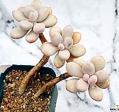아메치스 18-102 Graptopetalum amethystinum