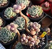 아메치스 510117 Graptopetalum amethystinum