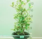 스윗하트고무나무소품7번-외대-공기정화 우수식물-동일상품발송|