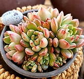 핑클루비1-620|Sedeveria pink rubby