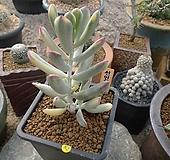 [특판]원종복랑금(82) Cotyledon orbiculata cv variegated