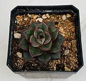 모노케로티스(0116) Echeveria Monocerotis