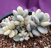 방울복랑금 11두군생 대형종-19 Cotyledon orbiculata cv variegated