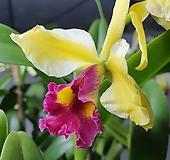 해피홀리데이 카틀레야 카틀레아 실내식물 공기정화식물 향기나는꽃 화초 엑스플랜트  엑플 Echeveria Holiday