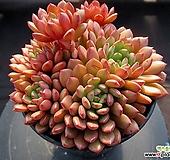 핑클루비 1-471|Sedeveria pink rubby