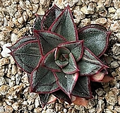 모노케로티스 금 Echeveria Monocerotis