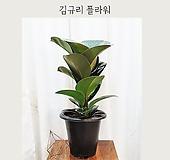 딥그린 인도고무나무 - 김규리플라워|
