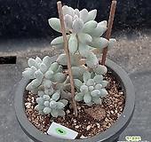 (1月)베이비핑거8 Pachyphytum Machucae(baby finger)