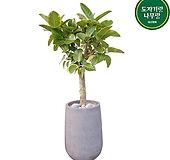 대형 뱅갈고무나무 개업축하화분 관엽식물 DLP-355|