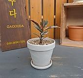 [완성품] 수채화고무나무 소품|