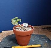 이르마,유럽제라늄..초미니토분 pelargonium inquinans
