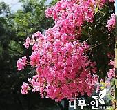 배롱나무 분뜨기 목백일홍나무|
