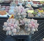 베이비핑거1-2435 Pachyphytum Machucae(baby finger)