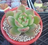 레인보우샬롯1-2736 Echeveria rainbow