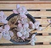 클라바타미인 (적심)|Pachyveria clavata