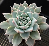 파랑새대품538|Echeveria Blue bird