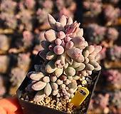 베이비핑거 360120 Pachyphytum Machucae(baby finger)