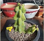 (자구달린) 용비 실생 Myrtillocactus geometrizans cv. fukurokuryuzinboku