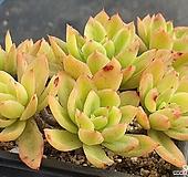 골든글로우금 301-7628|Echeveria cv. Golden Glow