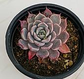 핑크자라고사(0118)|Echeveria mexensis Zaragosa