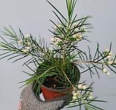 왁스플라워 소품49|Echeveria agavoides Wax