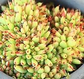 사치 철화 (SX19030|Agavoides f.cristata Echeveria