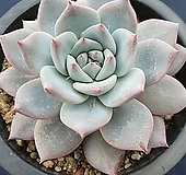 파랑새|Echeveria Blue bird