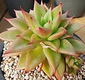 짧은잎적성 Echeveria agavoides Akaihosi