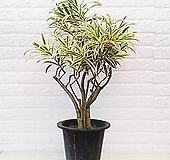 드라세나 송오브인디아 고급스러운 황금 잎 [하늘꽃농원] variegated